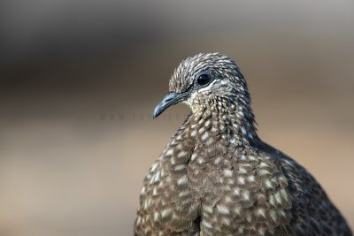Chestnut-quilled Rock-pigeon - Portrait (Petrophassa rufipennis).1