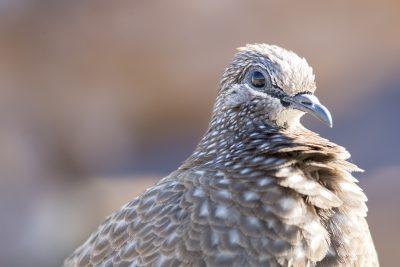 Chestnut-quilled Rock-pigeon - Profile (Petrophassa rufipennis) - Ubirr, NT