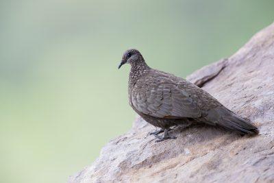 Chestnut-quilled Rock-Pigeon (Petrophassa rufipennis) - Ubirr, NT