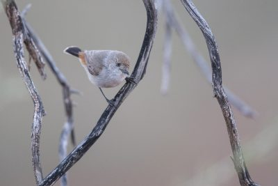 Chestnut-rumped Thornbill (Acanthiza uropygialis) - Alice Springs, NT