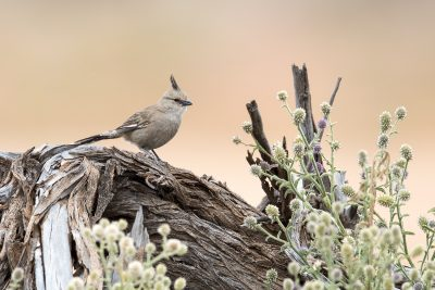Chiming Wedgebill (Psophodes occidentalis)