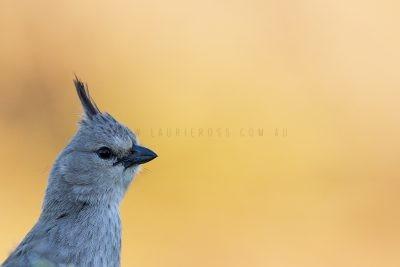 Chirruping Wedgebill - Portrait