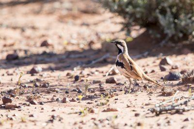 Cinnamon Quail-thrush(Cinclosoma cinnamomeum cinnamomeum) Simpson Desert, NT