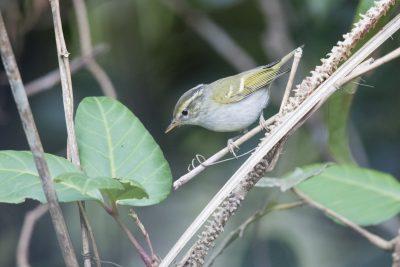 Claudia's Leaf Warbler (Phylloscopus claudiae)