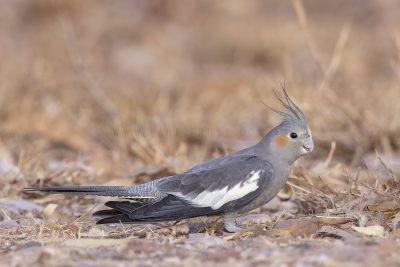 Cockatiel - Juvenile
