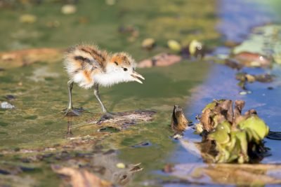 Comb-crested Jacana - Day old chick (Young - Irediparra gallinacea novaehollandiae)