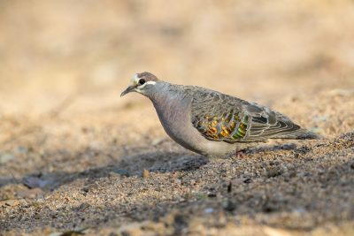 Common Bronzewing (Phaps chalcoptera).