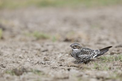 Common Nighthawk (Chordeiles minor)1