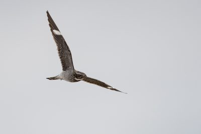 Common Nighthawk - In Flight (Chordeiles minor)