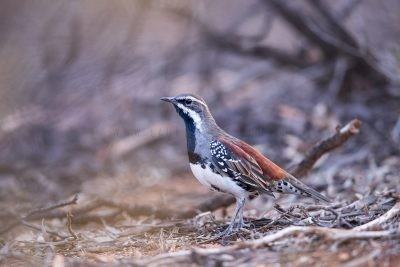 Quail-thrushes and jewel-babblers, Whipbirds and Wedgebills