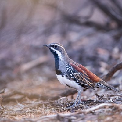 Whipbirds, Wedgebills & Quail-thrush