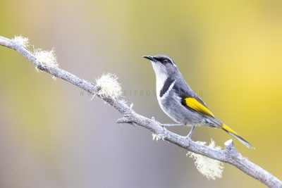 Crescent Honeyeater - Male.1