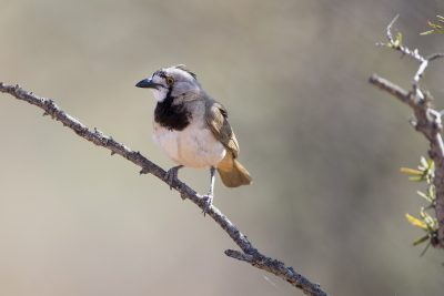 Crested Bellbird (Oreoica gutturalis pallescens) - Alice Springs, NT