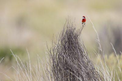 Crimson Chat (Epthianura tricolor) - Uluru, NT