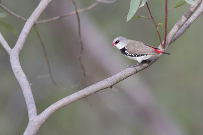 Diamond Firetail (Stagonopleura guttata) - Capertee Valley, NSW