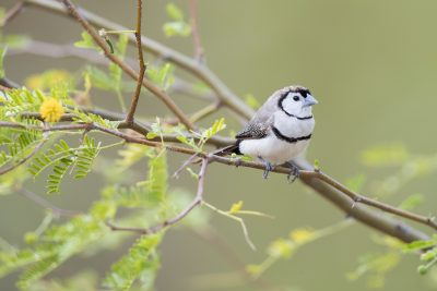 Double-barred Finch (Taeniopygia bichenovii annulosa) - Top Springs, NT