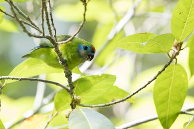 Double-eyed Fig-Parrot (Cyclopsitta diophthalma macleayana)