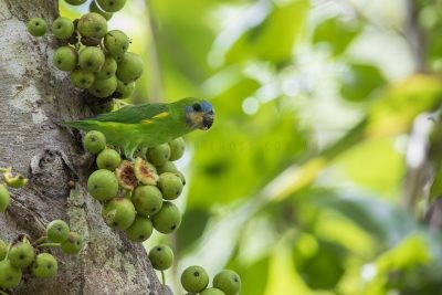 Double-eyed Fig-parrot - Female (Cyclopsitta diophthalma marshalli)