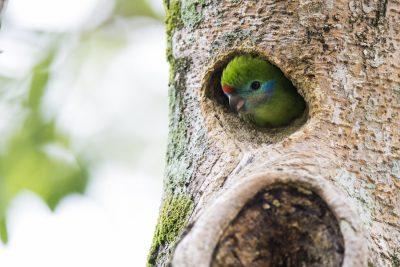 Double-eyed Fig-parrot - Female in a nest (Cyclopsitta diophthalma)
