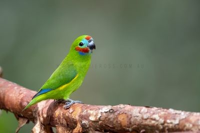 Double-eyed Fig-parrot - Male.