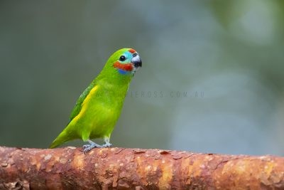 Double-eyed Fig-parrot - Male