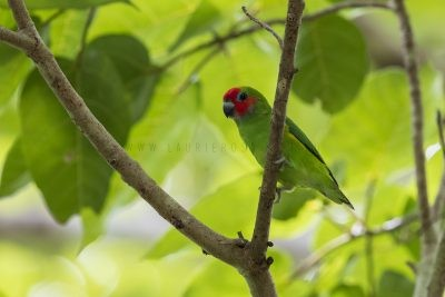 Double-eyed Fig-parrot - Male (Cyclopsitta diophthalma marshalli)