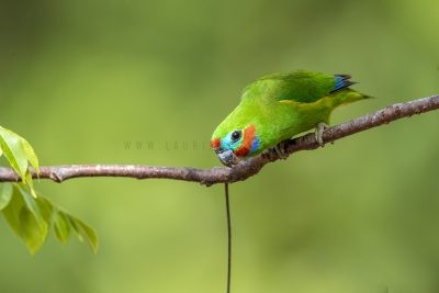 Double-eyed Fig-parrot - Male (Cyclopsitta diophthalma marshalli).1