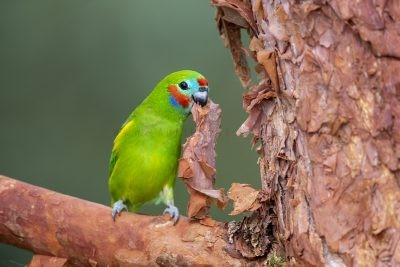 Double-eyed Fig-parrot - Male with Paperbark