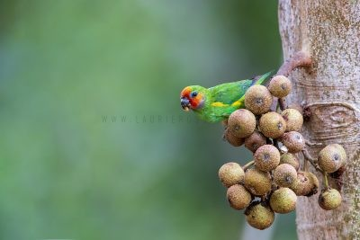 Double-eyed Fig-Parrot (Marshall's)