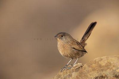 Dusky Grasswren - Alice Springs Male (Amytornis purnelli).3
