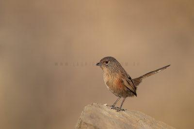 Dusky Grasswren - Alice Springs Female (Amytornis purnelli)