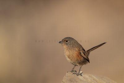 Dusky Grasswren - Alice Springs Female (Amytornis purnelli).2