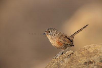 Dusky Grasswren - Alice Springs Female (Amytornis purnelli).3