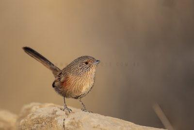 Dusky Grasswren - Alice Springs Female (Amytornis purnelli).5