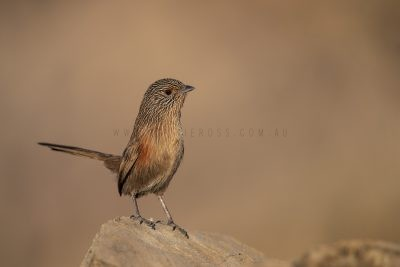 Dusky Grasswren - Alice Springs Female (Amytornis purnelli).6
