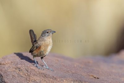 Dusky Grasswren - Barrow Creek Female (Amytornis purnelli).1
