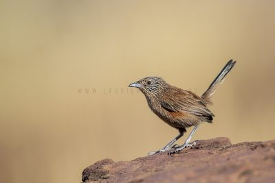 Dusky Grasswren - Barrow Creek Female (Amytornis purnelli).2