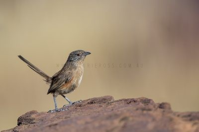 Dusky Grasswren - Barrow Creek Female (Amytornis purnelli.3