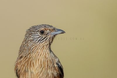 Dusky Grasswren - Barrow Creek Female Portrait (Amytornis purnelli).1