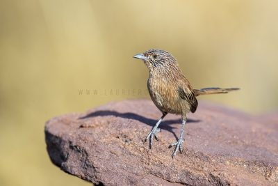 Dusky Grasswren - Barrow Creek Male (Amytornis purnelli)