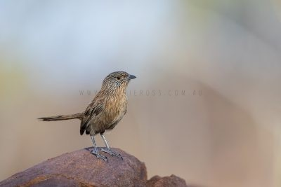 Dusky Grasswren - Barrow Creek Male (Amytornis purnelli).1