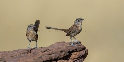 Dusky Grasswren - Barrow Creek Panoramic Pair (Amytornis purnelli)