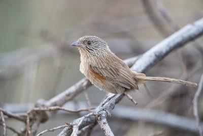 Dusky Grasswren - Female (Amytornis purnelli) - Alice Springs