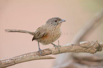 Dusky Grasswren - Female (Amytornis purnelli) - Alice Springs.