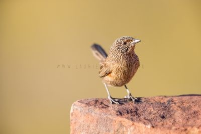 Dusky Grasswren - Female (Amytornis purnelli) - Kings Canyon