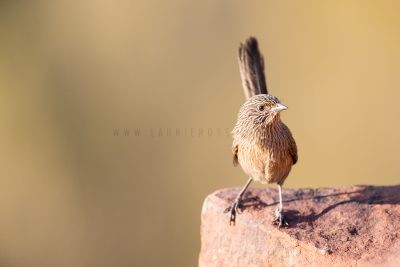 Dusky Grasswren - Female (Amytornis purnelli) - Kings Canyon1