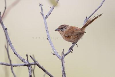 Dusky Grasswren - Female (Amytornis purnelli) - Tennant Creek Flats