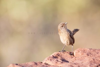 Dusky Grasswren - Male (Amytornis purnelli) Kings Canyon