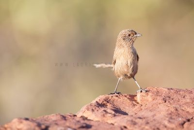 Dusky Grasswren - Male (Amytornis purnelli) Kings Canyon1