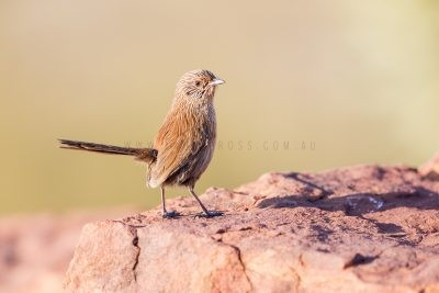 Dusky Grasswren - Male (Amytornis purnelli) Kings Canyon2